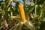 Corn seeds Artois FAO – 270