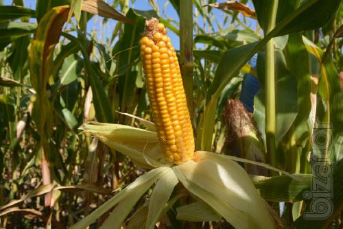 Corn seeds Artois FAO – 270