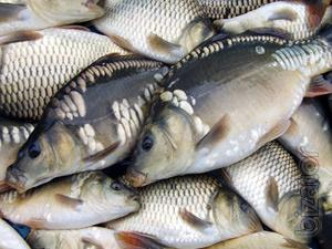 Sell fish wholesale