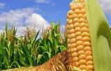 Seeds of maize hybrid Gran 6 (FAO 300)