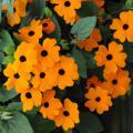 Sell seeds Thunbergia Black-eyed Beauty cruise