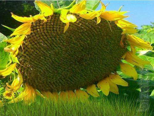 Sunflower seeds (NS 6059 H)* granstra