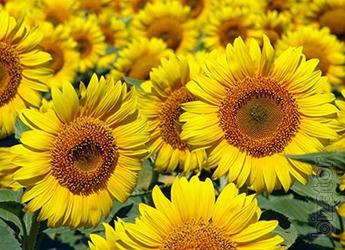 Sunflower seeds NS SUMO 007 (under Granstar)