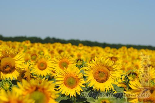 Sunflower seeds Grand Admiral (resistant to 50g.tribenuron-methyl)