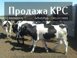 Sale of pedigree breeds of cattle in live weight for dairy