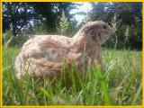 Egg hatching quail Phoenix Gold - broiler (selection France).