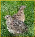 Egg hatching quail Pharaoh (selection Spain).