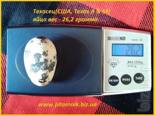 Egg hatching quail White Texan broiler (USA Texas A & M).