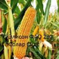 The seeds of the French maize Alison (FAO 290)