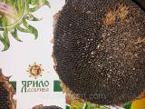 Seeds of sunflower hybrids resistant to the Euro litro