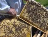 Bees Pcany Kharkov region of the Ukrainian steppe breed 2019