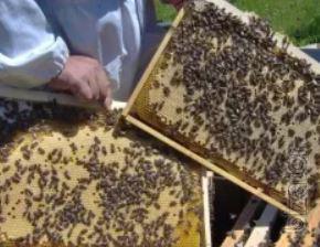 Bees Pcany Kharkov region of the Ukrainian steppe breed 2019