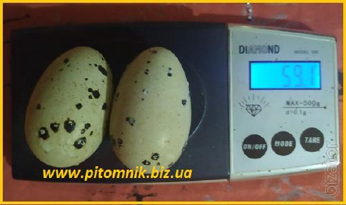 Eggs incopesca incubation.