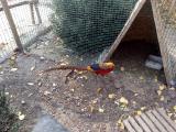 Икубационые яйца Румынского-изумрудного и охотничьего фазанов