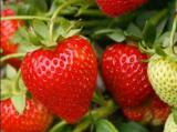 Sell strawberry WHOLESALE!
