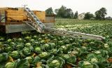 Conveyor the conveyor for cabbage