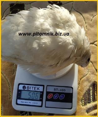 Hatching eggs super - broiler White Texan - (Texas USA).