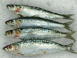 Pilchard Pacific