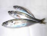 Mackerel Pacific