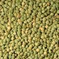 Lentils green, green soczewica, 2019