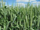 Winter wheat Leaf 25