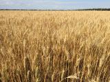 Winter wheat Golden