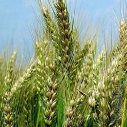 Winter wheat Metalist