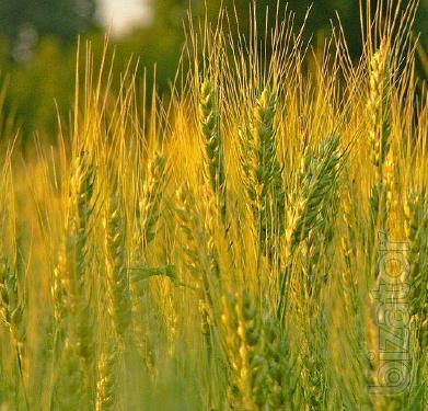 Winter barley Winner