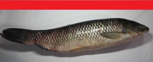 A carp, carp, silver carp wholesale. Possible export.