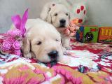 Retriever puppies gorgeous