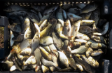 Sell the fish commodity, Saribek silver carp, carp, crucian carp, pike, Zander!