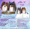 Sold pedigree puppies Biewer Terrier