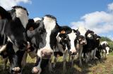 Sell calves a n d Holstein cows for fattening