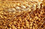 Buy wheat 2,3,4 class