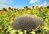 Vysokomolochnye hybrid sunflower Ajax (Ajax)