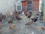 Молодняк охотничьих фазанов