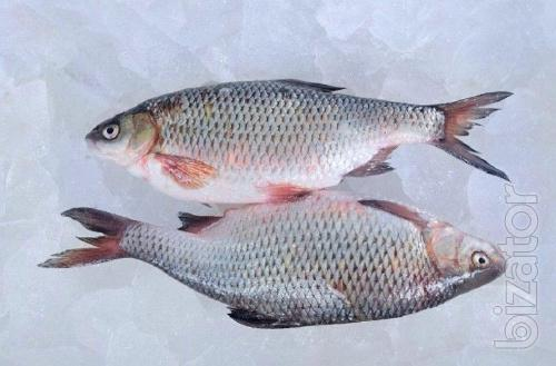 Fresh fish wholesale. River fresh fish.