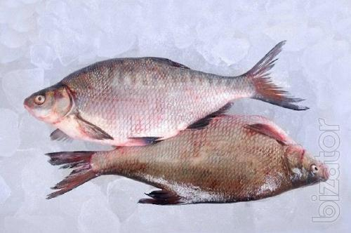 Buy fish wholesale. Roach, bream, perch, bream, perch etc.