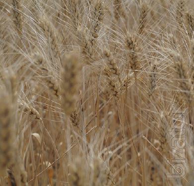 Seeds of winter wheat Wreath skirts