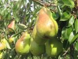 Sell organic pear Delbert