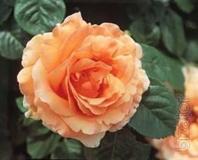 Саженцы роз Антипова, более 700 сортов, виноград, приемлемая цена.