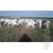 The goats.Goats breeding.Panenska.Lamancha.The goats.The mating.