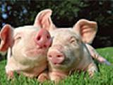 Pork live weight