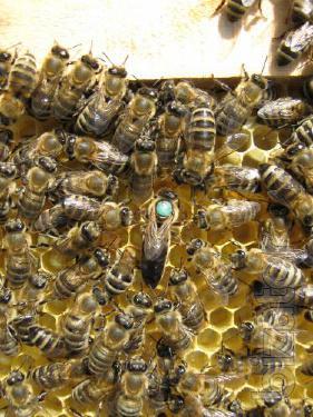 Пчёлы. Пчелиные плодные матки (меченые) карпатка.Вся Украина