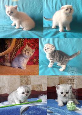 Харьковский питомник предлагает шотландских котят