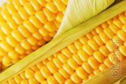 Corn seeds Cremini 200 ST. Buy corn seeds in Cherkassy.