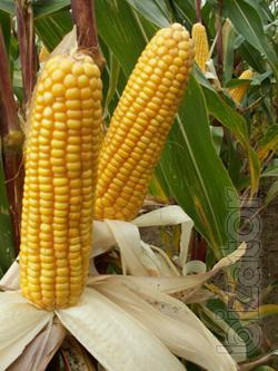 Seeds of corn Sangarski 289 MV. Buy corn seeds in Cherkassy.
