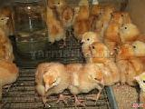 Wholesale and retail feed for broilers