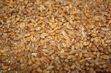 Wheat forage.