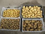 Продам картофель и лук оптом от производителя, урожай 2013-14 очень сочная цена, спеши!